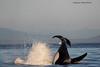 Cartwheeling Orca