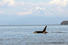 Resident Orca with Mount Baker back drop