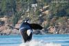 KPod Bull Orca breaching