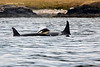 One of the resident Orca's  calf off San Juan Island.