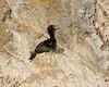 Pelagic cormorant nesting