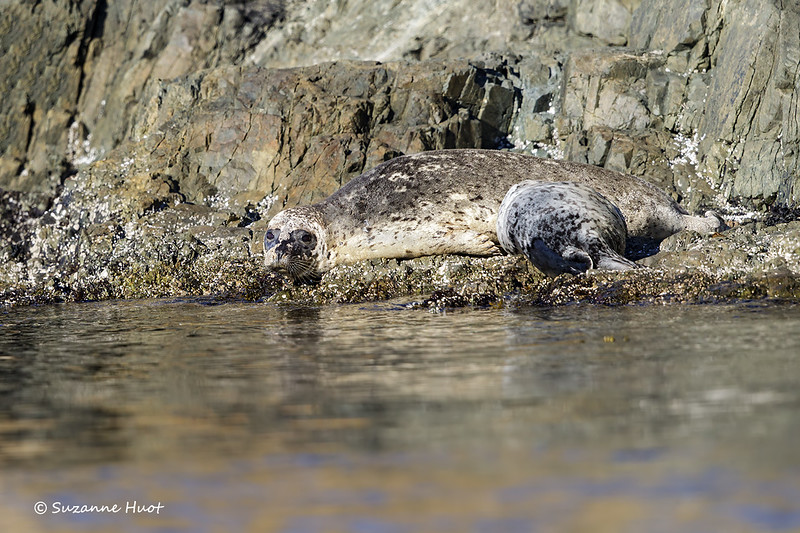 Harbor Seal nursing pup