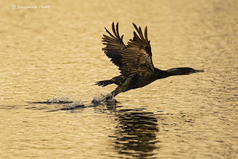Pelagic Cormorant in golden light.