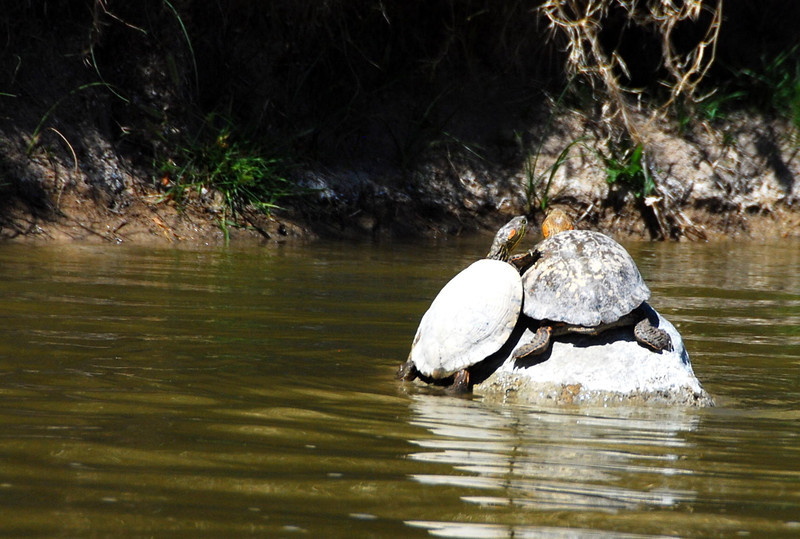 Red-eared sliders-fd0000