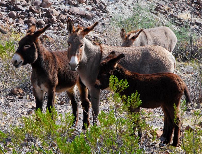 Wild burros2