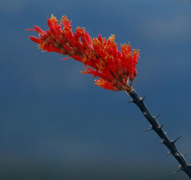 Ocatillo blossom2
