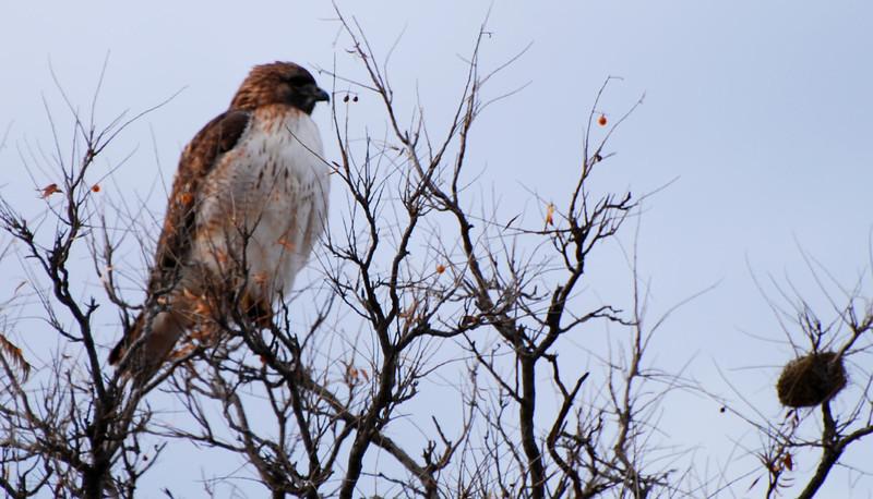 Redtail hawk3