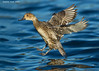 Female Northern Pintail about to land on water.