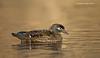 Wood Duck, Female.