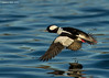 Bufflehead , male.
