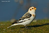 Snow Bunting,an unusual visitor to Vancouver Island