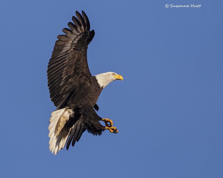 Bald-Eagle  coming in roost