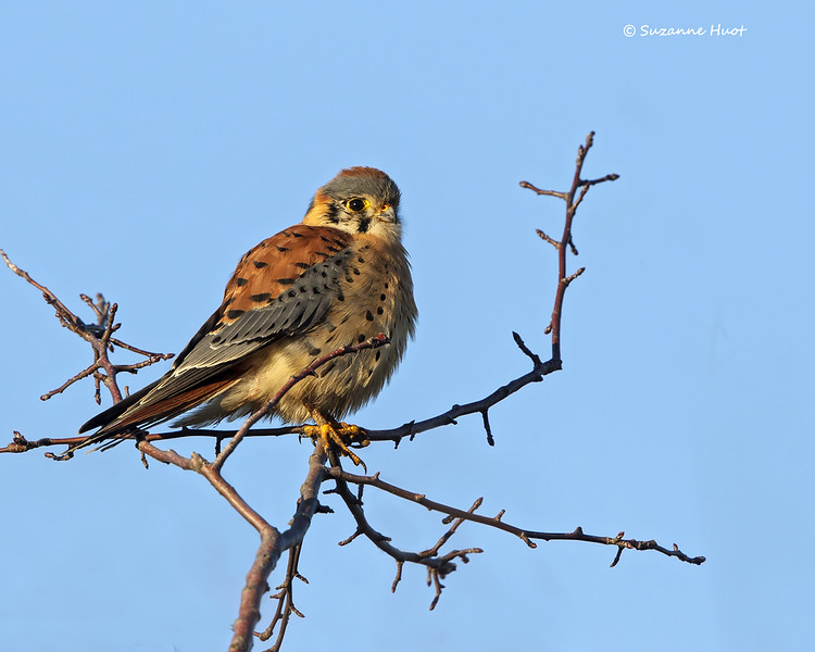 American Kestrel  adult male