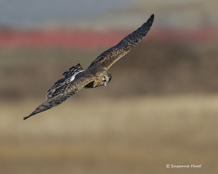 Northern Harrier  threat call to another