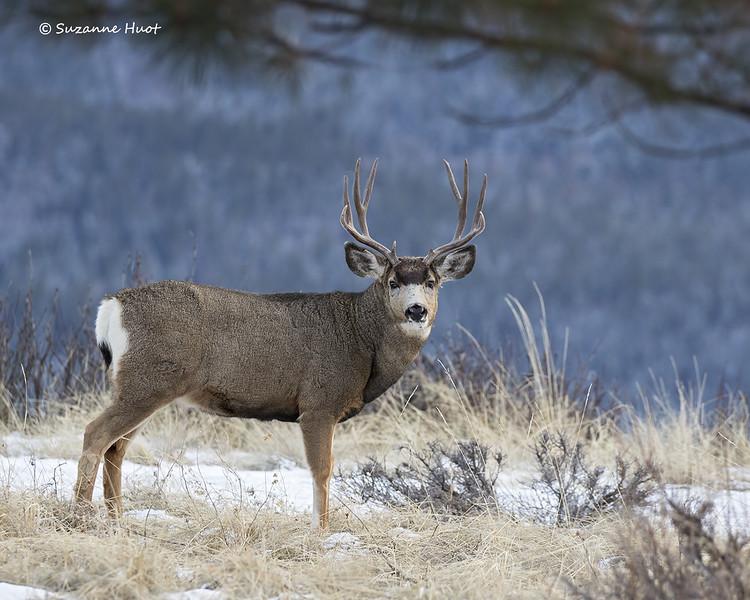 Mule Deer buck at dusk