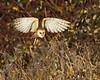 Barn Owl hunting habitat
