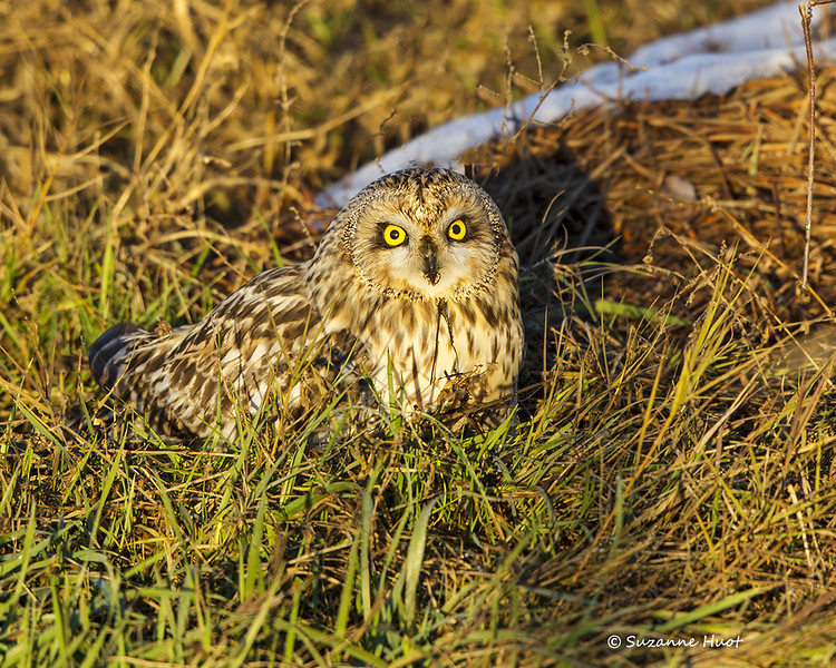 Short-eared Owl sitting over his kill