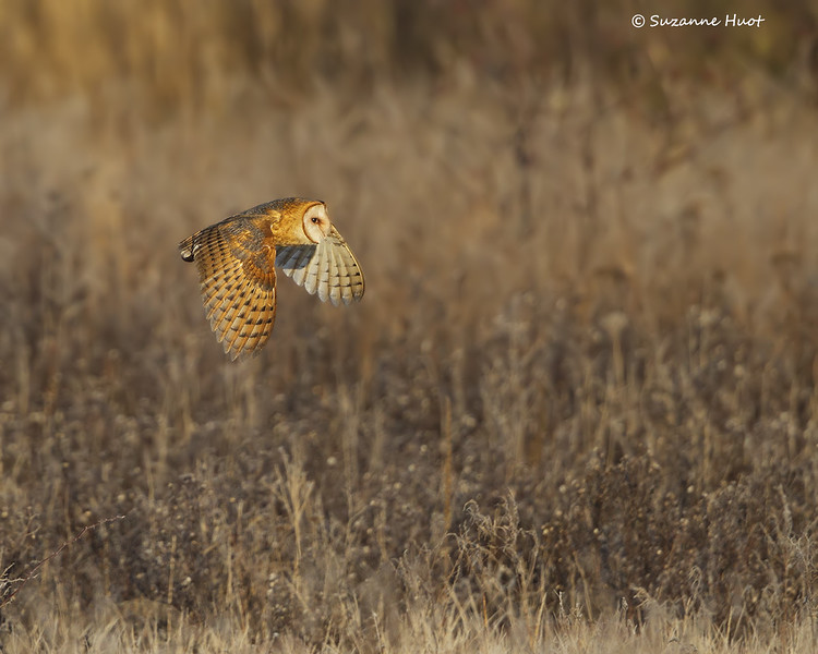 Barn Owl  habitat