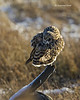 Short-eared Owl preening