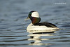 Bufflehead  .male