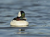 Bufflehead . male