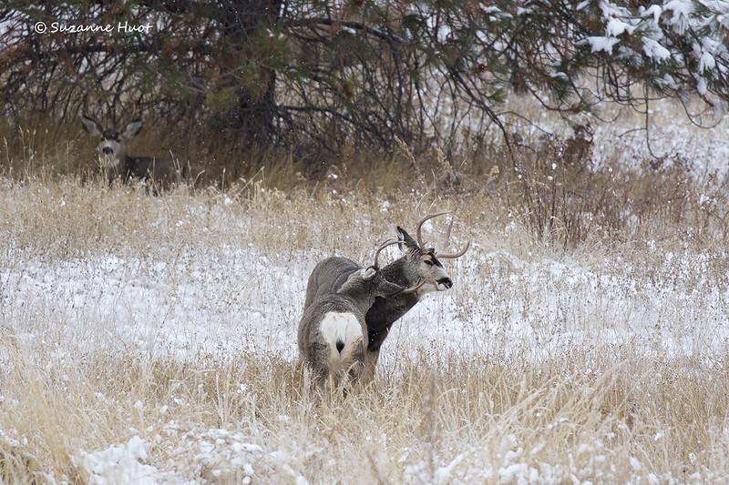 Pair  of Mule Deer bucks  sparring over female