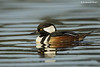 Hooded merganser . male