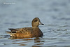 North american Widgeon . Female