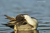 Norther Pintail preening . male