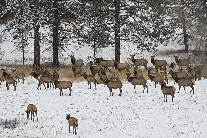 Mixed herd of Elk