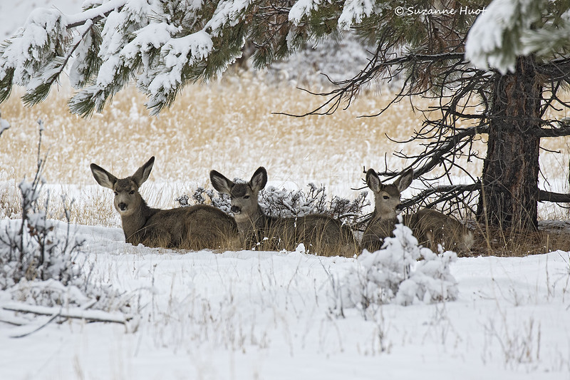 Three Mule deer fawns ruminating the cud