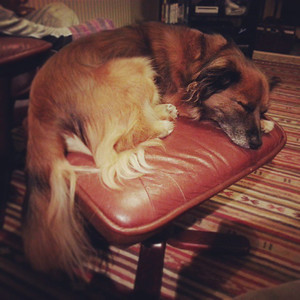 Dogface curled up, fast asleep on the footstool. via Instagram http://instagram.com/p/dfZBTdtMQR/