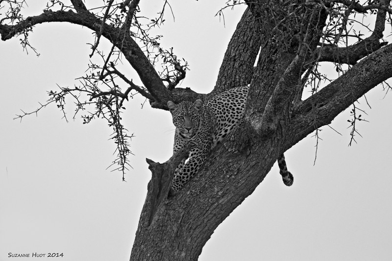 serengeti Leopard in black and White.