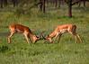 Impala Stags battling it out . Serengeti, Tanzania.
