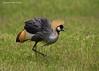 Grey-crowned Crane.  Ngorongoro Crater.  Tanzania.
