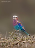 Lilac-breasted roller.  Lake Nakuru Kenya.
