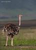 Ostrich Ngorongoro Crater, Tanzania.