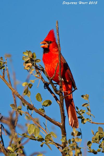Northern Cardinal. Baja  Mexico