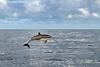 Pacific Dolphin.  Sea of Cortez. Mexico.