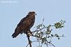 Brown Snake Eagle. Ndutu Tanzania.