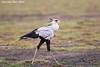 Secretary bird. Ndutu  Tanzania.