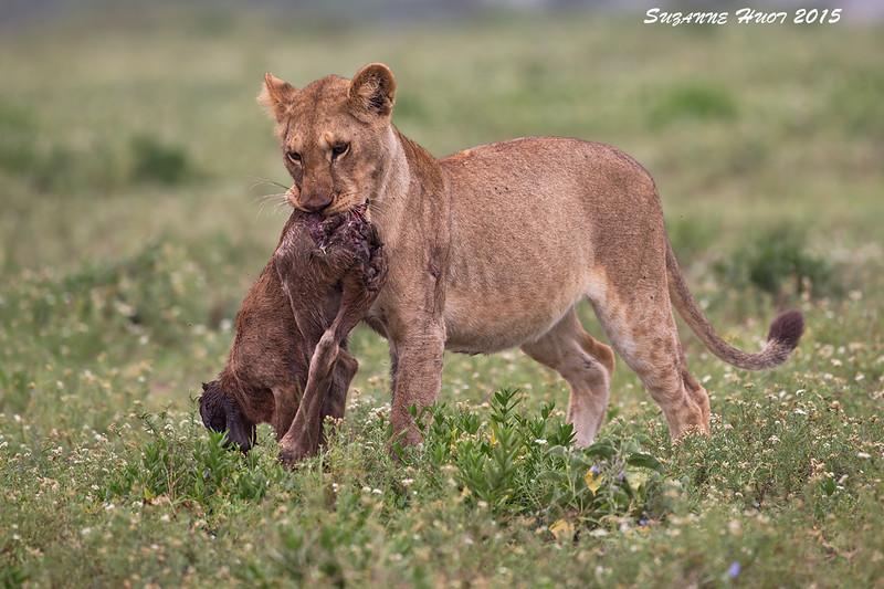 Lion cub  with  breakfast. Ndutu Tanzania'