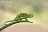 Chameleon.  Nduutu  Tanzania'