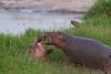 Young hippos at play.Masai Mara.  Kenya.