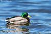 Mallard Drake  Esquimault Lagoon. B.C.