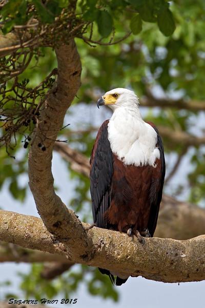 African Fish Eagle . Serengeti Tanzania.