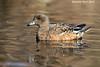 North American Wigeon  Kings Pond. B.C
