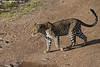Leopard.  Masai Mara  kenya.