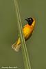 lesser-masked Weaver. Ndutu  Tanzania.