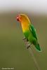 Fisher's Lovebird.  Ndutu  Tanzania
